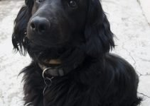 Chatham Hill Retriever Dog Breed Information All You Need To Know