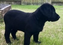 Chesador Dog Breed Information – All You Need To Know