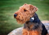 Chidale Dog Breed Information – All You Need To Know