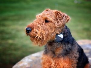 Chidale Dog Breed Information All You Need To Know