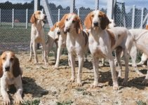 Chien Francais Blanc Et Orange Dog Breed Information All You Need To Know