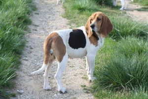 Chien D'artois Dog Breed Information All You Need To Know