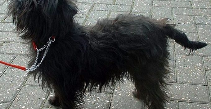 Chin Affenpinscher Dog Breed Information All You Need To Know