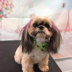 Chinese Imperial Dog Breed Information All You Need To Know