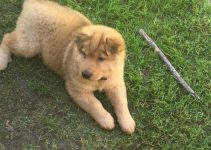 Chow Pei Dog Breed Information – All You Need To Know