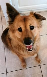Chow Shepherd Dog Breed Information – All You Need To Know
