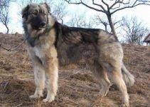 Ciobanesc Romanesc Carpatin Dog Breed Information – All You Need To Know