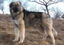 Ciobanesc Romanesc Mioritic Dog Breed Information – All You Need To Know