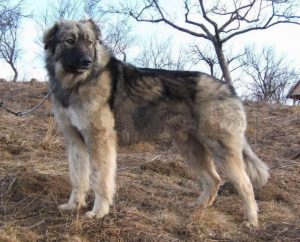 Ciobanesc Romanesc Mioritic Dog Breed Information All You Need To Know
