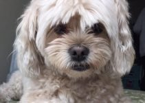 Cock-A-Tzu Dog Breed Information – All You Need To Know