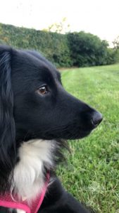Cocker Jack Dog Breed Information All You Need To Know