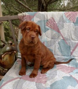 Cocker Pei Dog Breed Information All You Need To Know