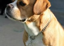 Cockerbull Dog Breed Information – All You Need To Know
