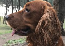 Colonial Cocker Spaniel Dog Breed Information – All You Need To Know