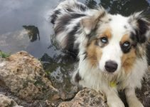 Confetti Australian Shepherd Dog Breed Information – All You Need to Know