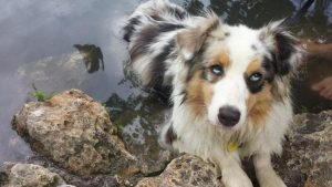 Confetti Australian Shepherd Dog Breed Information All You Need To Know