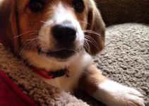 Corgi Basset Dog Breed Information – All You Need To Know