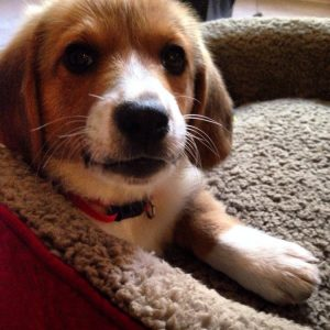 Corgi Basset Dog Breed Information All You Need To Know