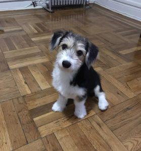 Corgi Bichon Dog Breed Information All You Need To Know