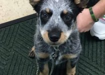 Corgi Cattle Dog Breed Information – All You Need To Know