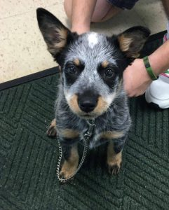 Corgi Cattle Dog Breed Information All You Need To Know