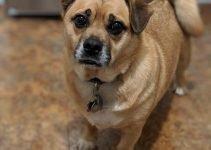 Corgi Pug Dog Breed Information – All You Need To Know
