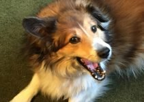 Cosheltie Dog Breed Information – All You Need To Know