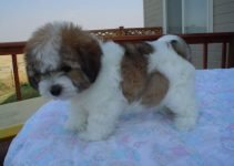 Coton Beagle Dog Breed Information – All You Need To Know