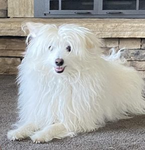 Coton Eskimo Dog Breed Information All You Need To Know