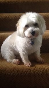 Coton Miki Dog Breed Information All You Need To Know