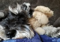 Coton Schnauzer Dog Breed Information – All You Need To Know