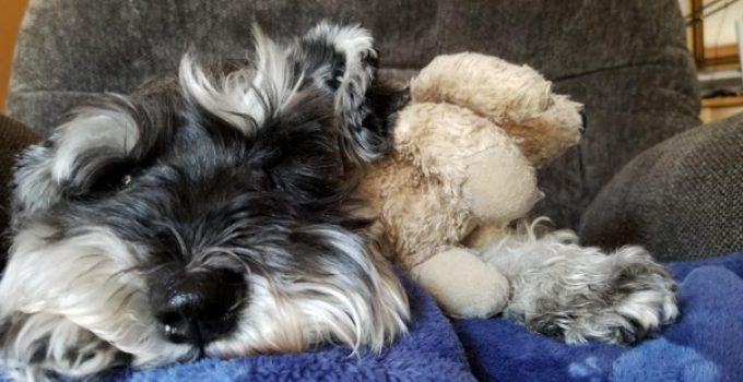 Coton Schnauzer Dog Breed Information All You Need To Know