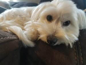Coton Tzu Dog Breed Information All You Need To Know