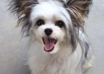 Crested Cavalier Dog Breed Information – All You Need To Know