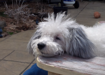 Crested Havanese Dog Breed Information All You Need To Know