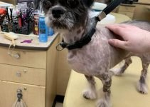 Crested Tzu Dog Breed Information – All You Need To Know