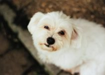 Daisy Dog Breed Information – All You Need To Know