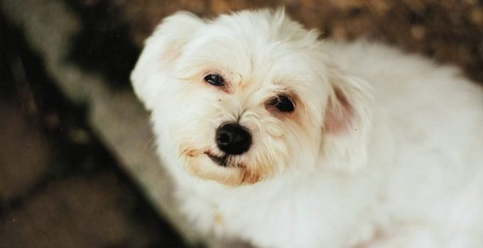 Daisy Dog Breed Information All You Need To Know