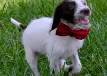 Dalmadoodle Dog Breed Information – All You Need To Know