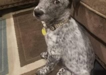 Dalmatian Heeler Dog Breed Information – All You Need To Know