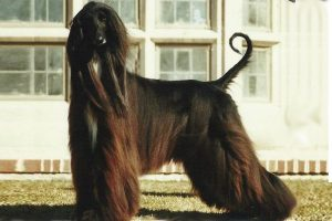 10 Best Dog Breeds Compatible With Afghan Hounds