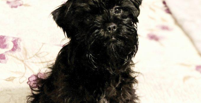 10 Dog Breeds Most Compatible With Affenpinschers