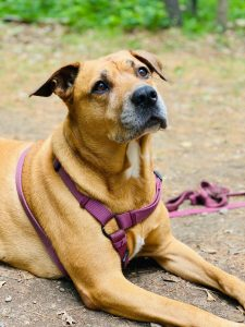 10 Dog Breeds Most Compatible With American Staffordshire Terriers