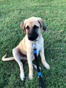 10 Dog Breeds Most Compatible With Anatolian Shepherd Dogs