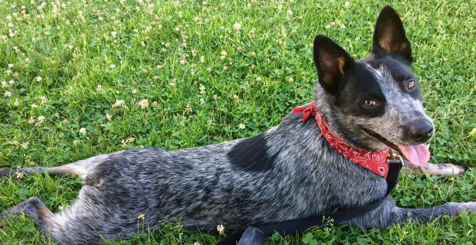 10 Dog Breeds Most Compatible With Australian Cattle Dogs