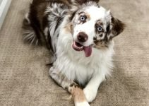 10 Dog Breeds Most Compatible with Australian Shepherds