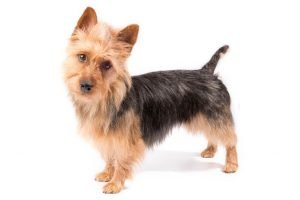 10 Dog Breeds Most Compatible With Australian Terriers