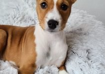 10 Dog Breeds Most Compatible with Basenjis