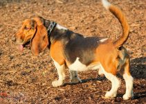 10 Dog Breeds Most Compatible with Basset Hounds