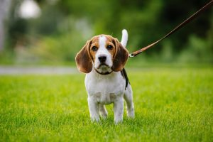 10 Dog Breeds Most Compatible With Beagles